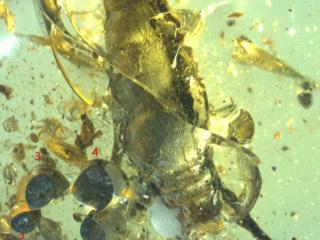 99 миллионов лет: в янтаре найдены древняя улитка и её новорождённое потомство