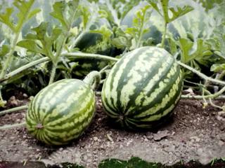 В арбузах нелегалов нашли совсем не витамины