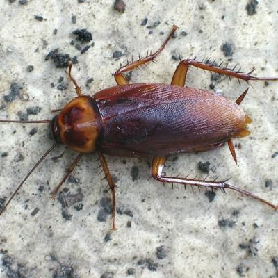 Ученые выяснили, как излучение от компьютера влияет на тараканов