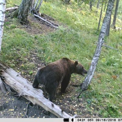 В Японии застрелили медведя, который дважды за сутки напал на людей