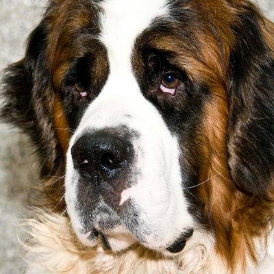 В МЧС объяснили, почему сенбернары перестали быть собаками-спасателями