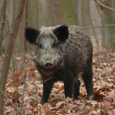 Финская свинья разыскивается в лесах Ленинградской области