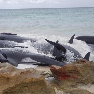 В Австралии готовят масштабную операцию по спасению чёрных дельфинов