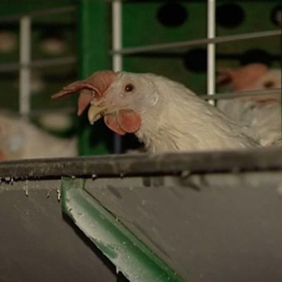 Риск вспышек птичьего гриппа существует в Южном и Северо-Кавказском округах