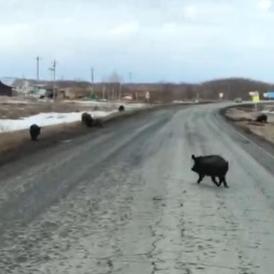 Жители Мытищ заметили на улицах города разгуливающего кабана
