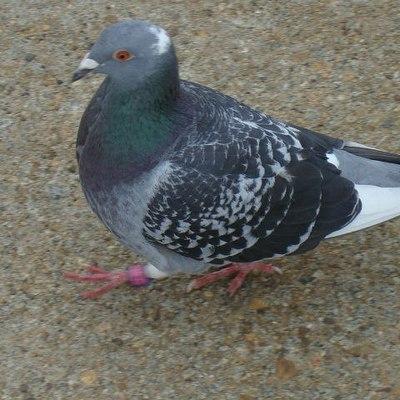 В Британии оштрафовали женщину за кормление голубя