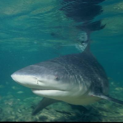 На пляжах Майорки недалеко от курорта Ильетас обнаружили трёхметровую синюю акулу