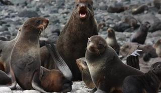 семейство северного морского котика