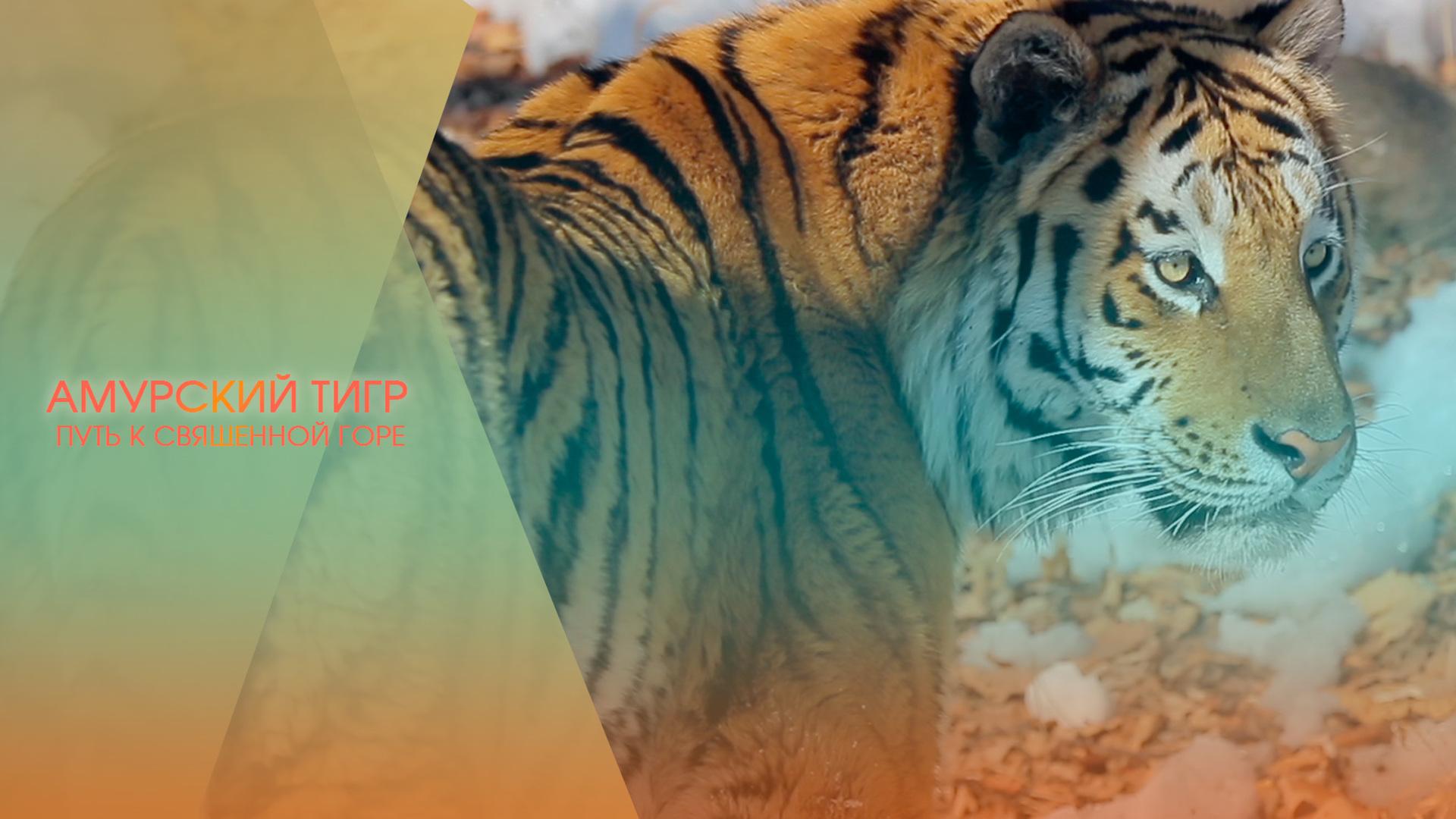 Амурский тигр. Путь к священной горе