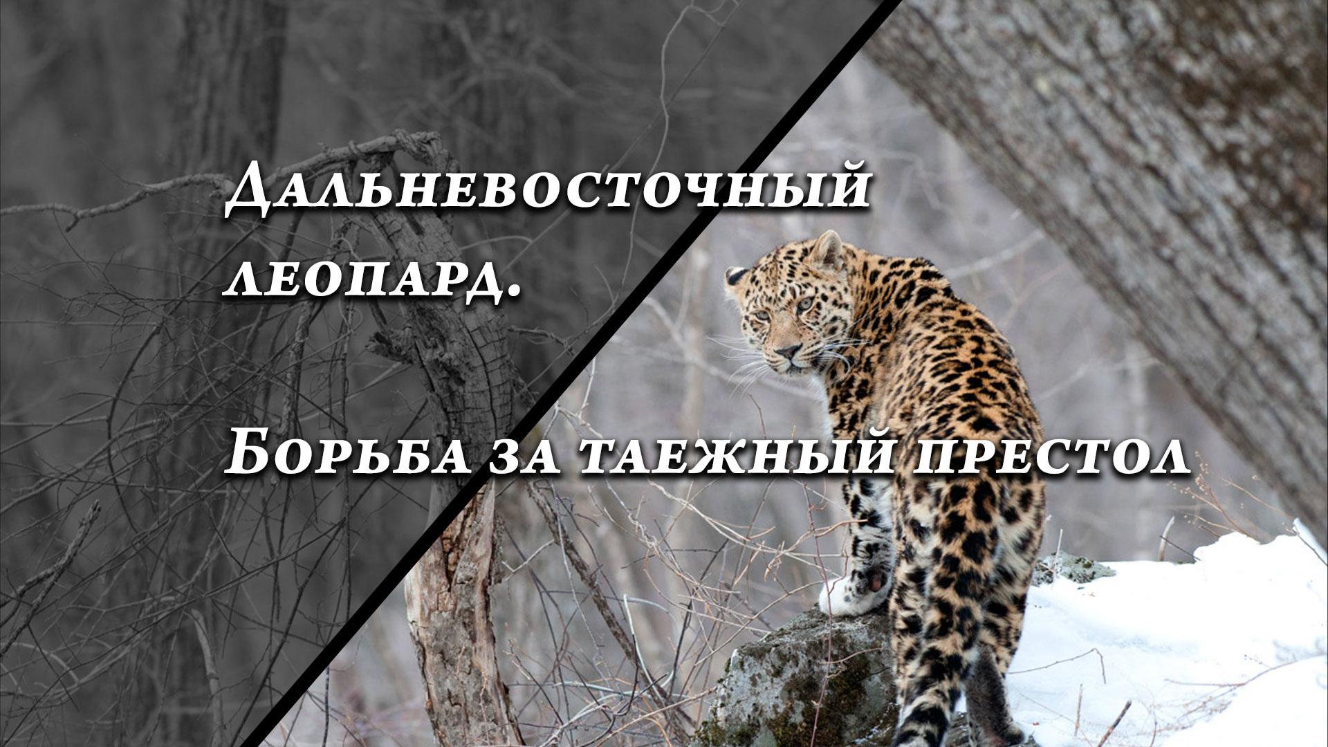 Дальневосточный леопард. Борьба за таежный престол