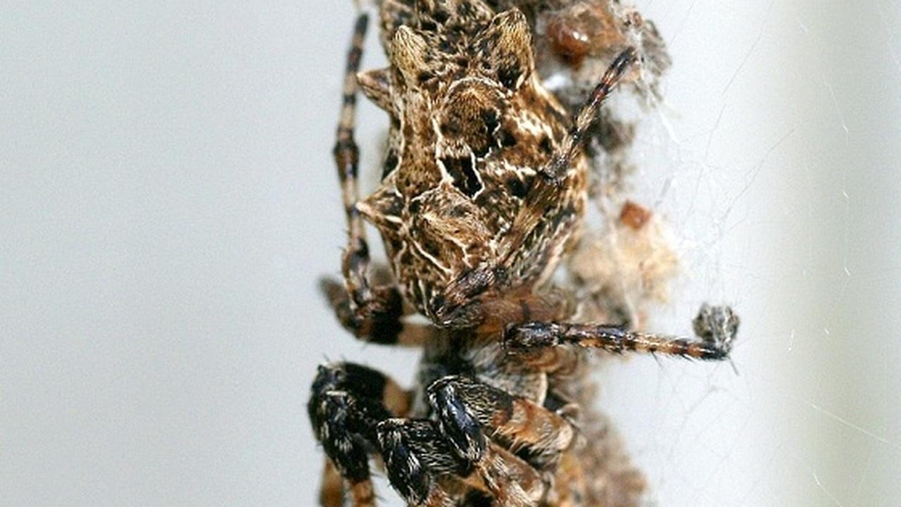 Пауки-кругопряды учатся при помощи своей паутины