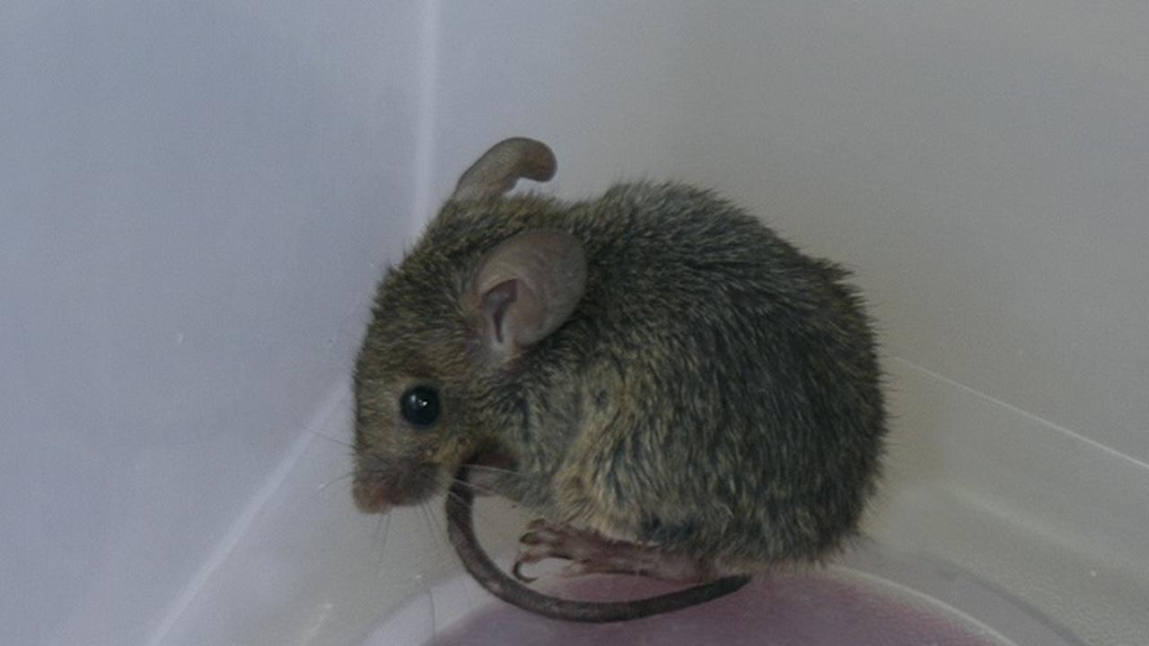Мыши из клетки не хотят спариваться с дикими сородичами