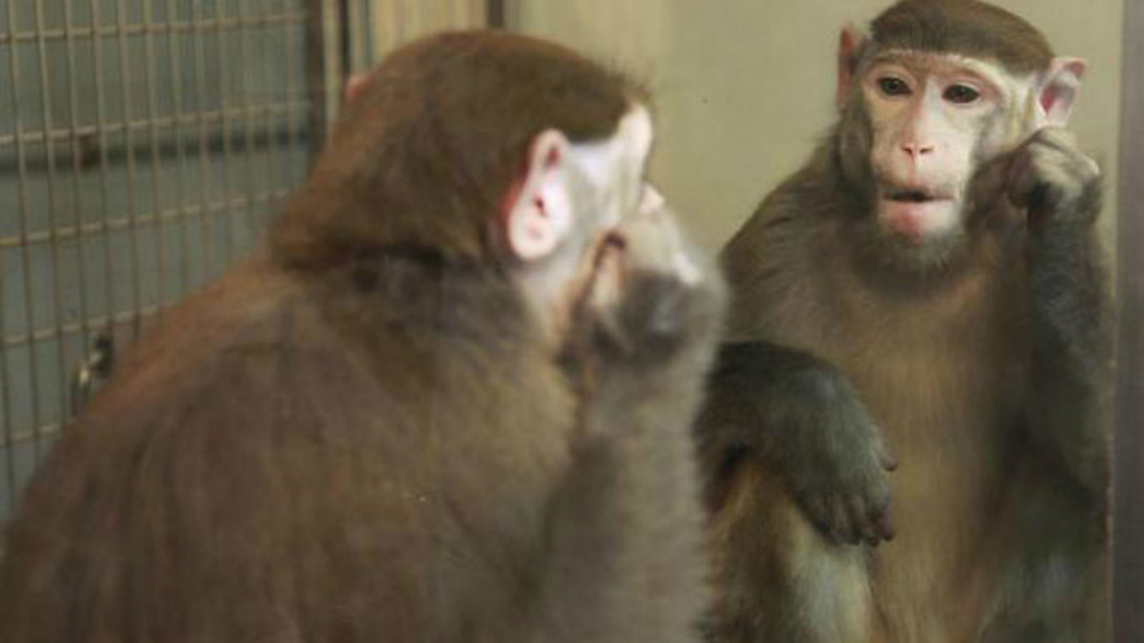 Обезьяны узнали себя в зеркале и рассмотрели самое интересное