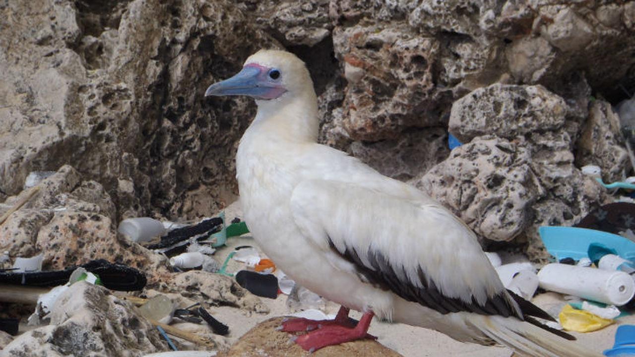 К 2050 году желудки всех морских птиц будут содержать пластик