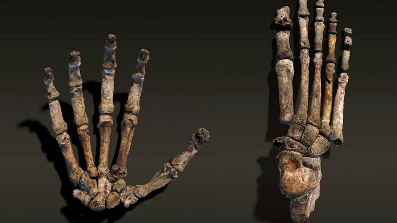 Новый вид древнего человека ходил как люди и карабкался по деревьям, словно обезьяна