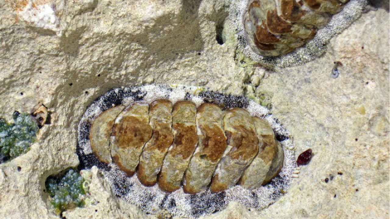Биологи изучили моллюска, смотрящего на мир тысячей каменных глаз