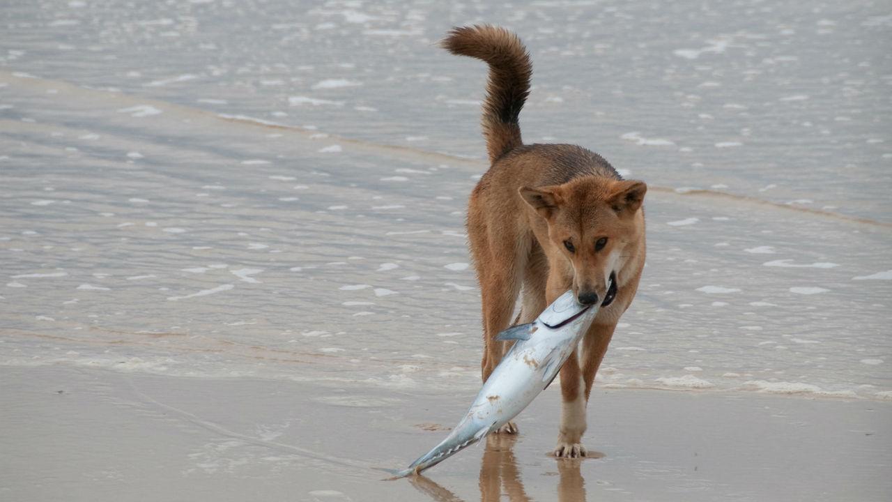 Учёные нашли хозяев первых собак динго