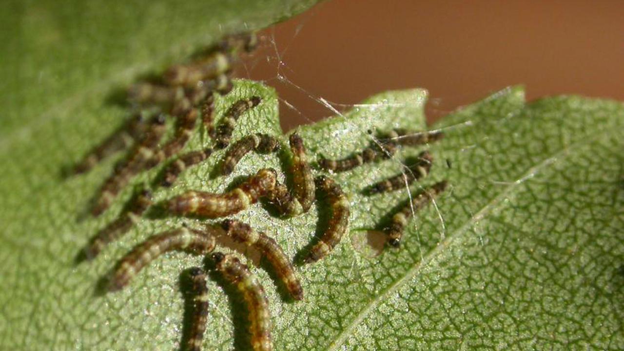 Гусеницы шелестят анусами, чтобы завязать дружбу