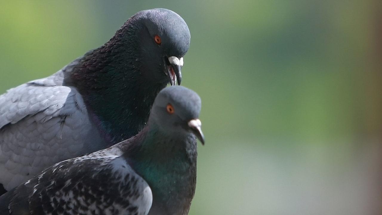Учёные выяснили, что голуби способны отличать слова от бессмыслицы