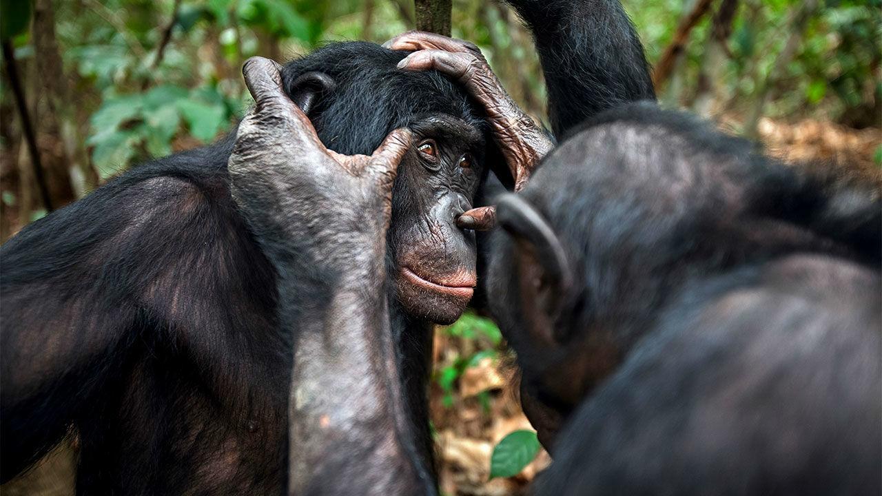Престарелым бонобо тоже нужны очки