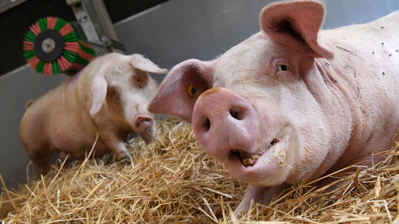 Врачи начнут модифицировать органы свиней для пересадки младенцам