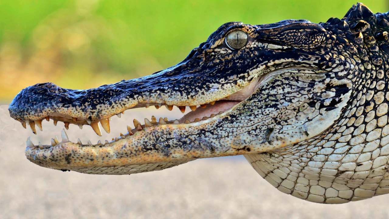 35-летнее исследование аллигаторов преподнесло биологам несколько сюрпризов