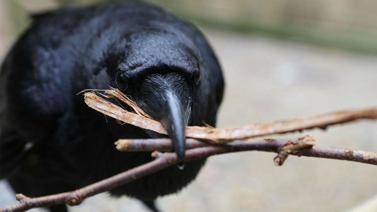 Не дал кусочек сыра: вороны запоминают обманувших их людей