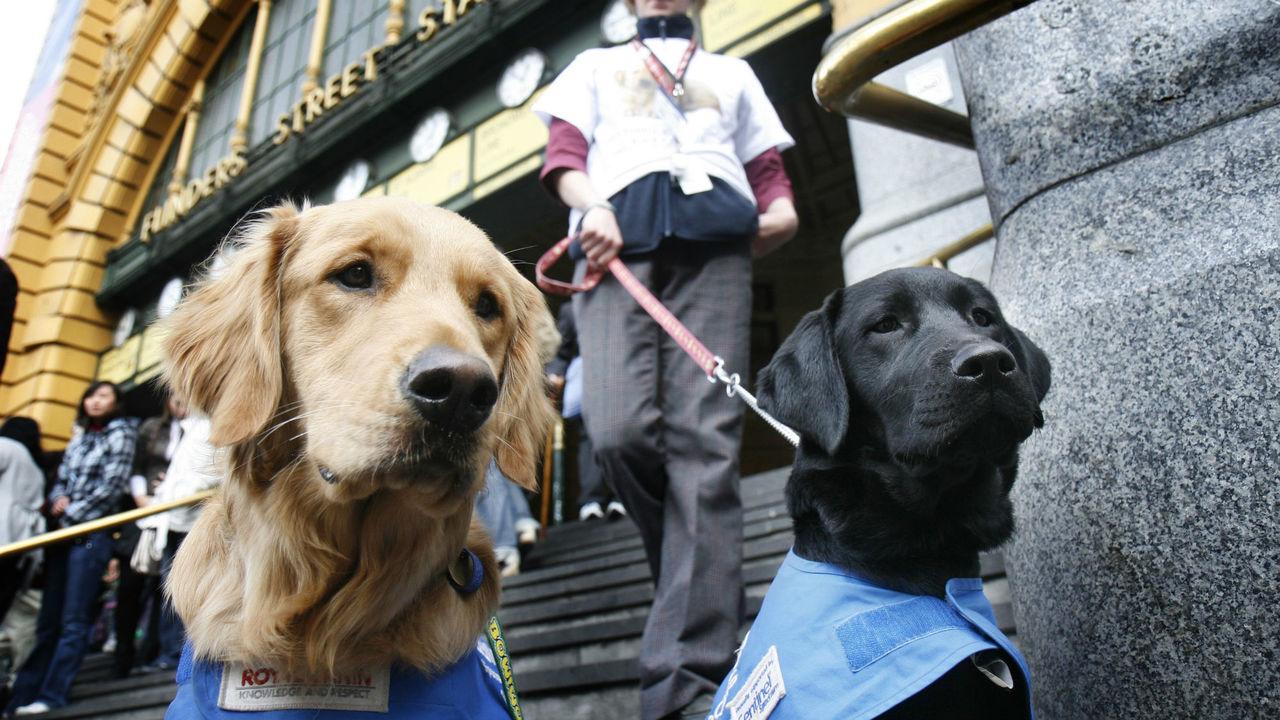 Карьера собак-поводырей обречена, если их избаловали в детстве