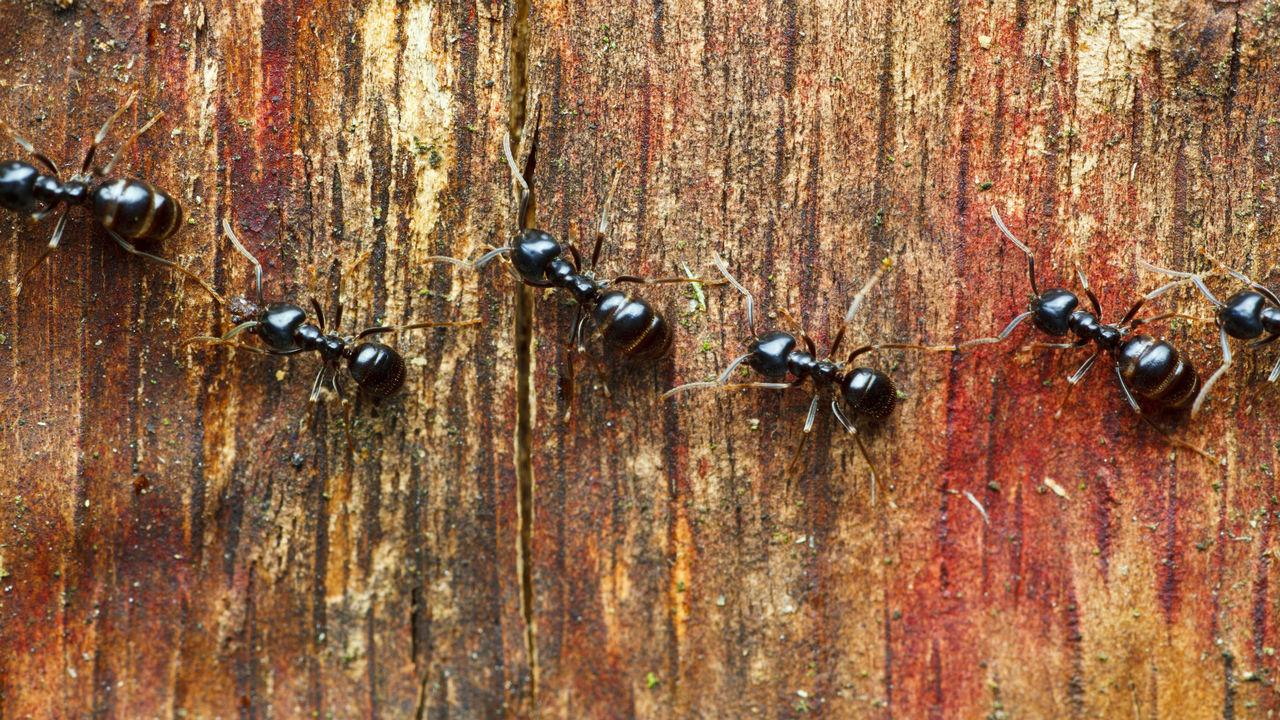 Дорожный разбой: жуки обирают муравьёв, несущих пропитание сородичам