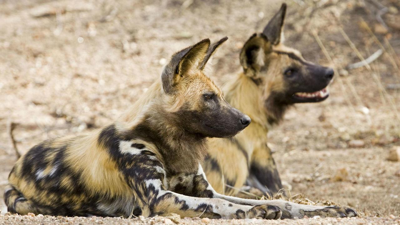 Голосование в мире животных: гиеновидные собаки принимают решения при помощи чихания