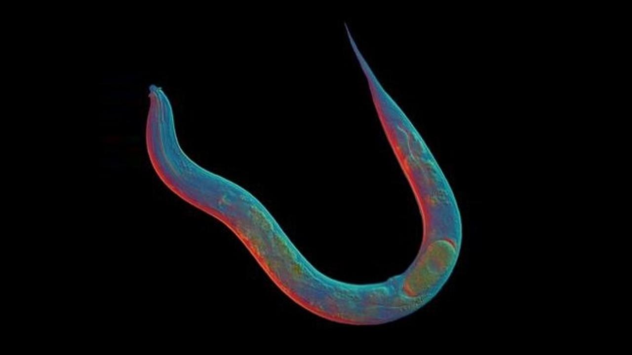 Генетики раскрыли секрет червей, которые 18 миллионов лет размножались и эволюционировали без секса