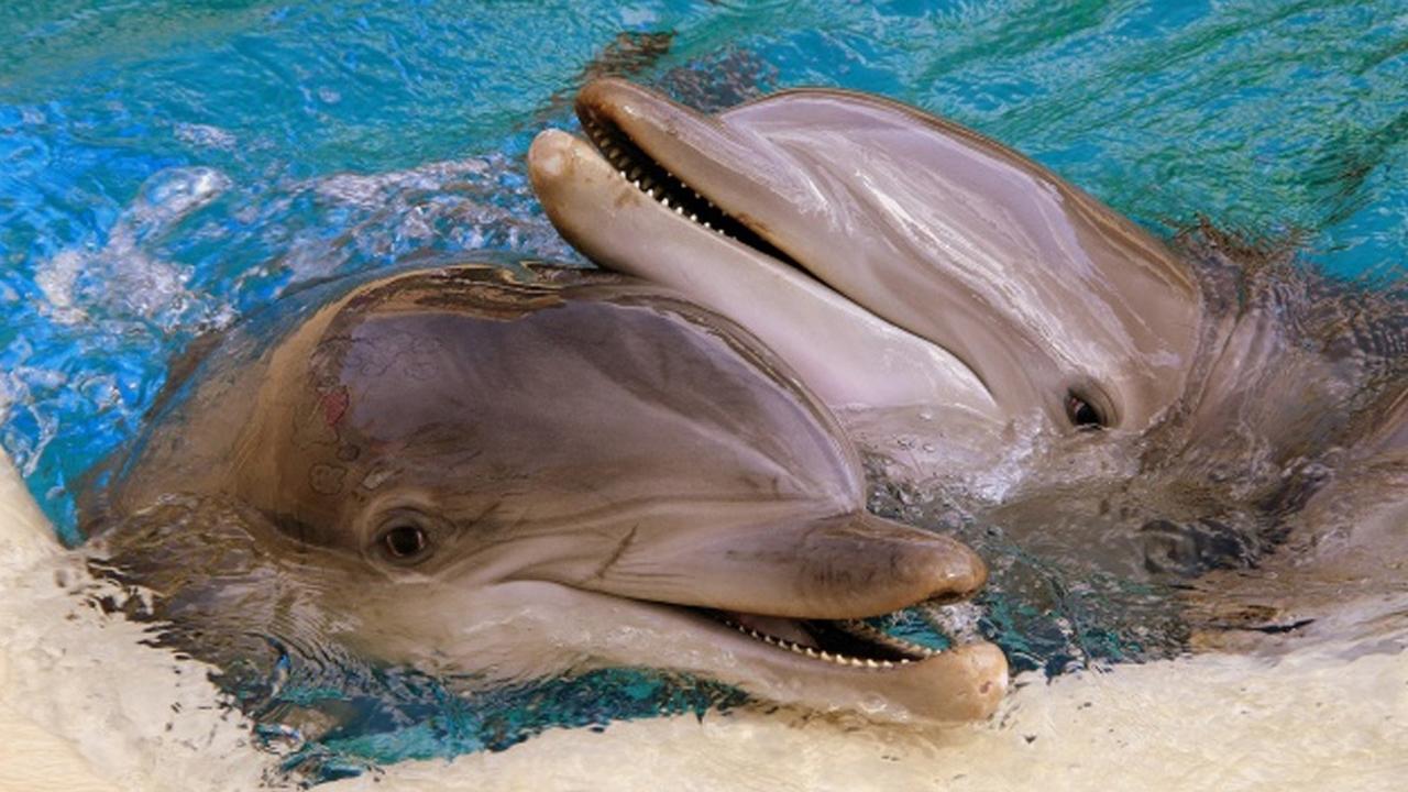 Самки дельфинов научились защищаться от нежелательной беременности