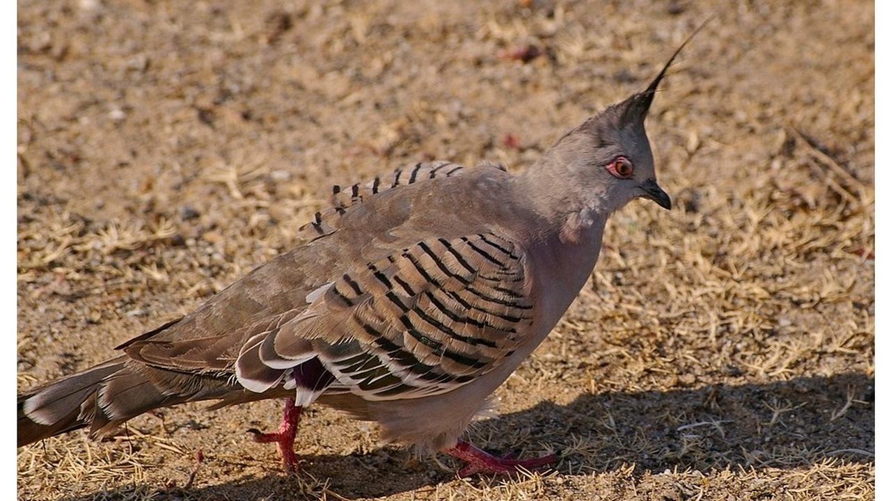 """Звук, который считался """"побочным эффектом"""" полёта голубей, оказался сигналом об угрозе"""
