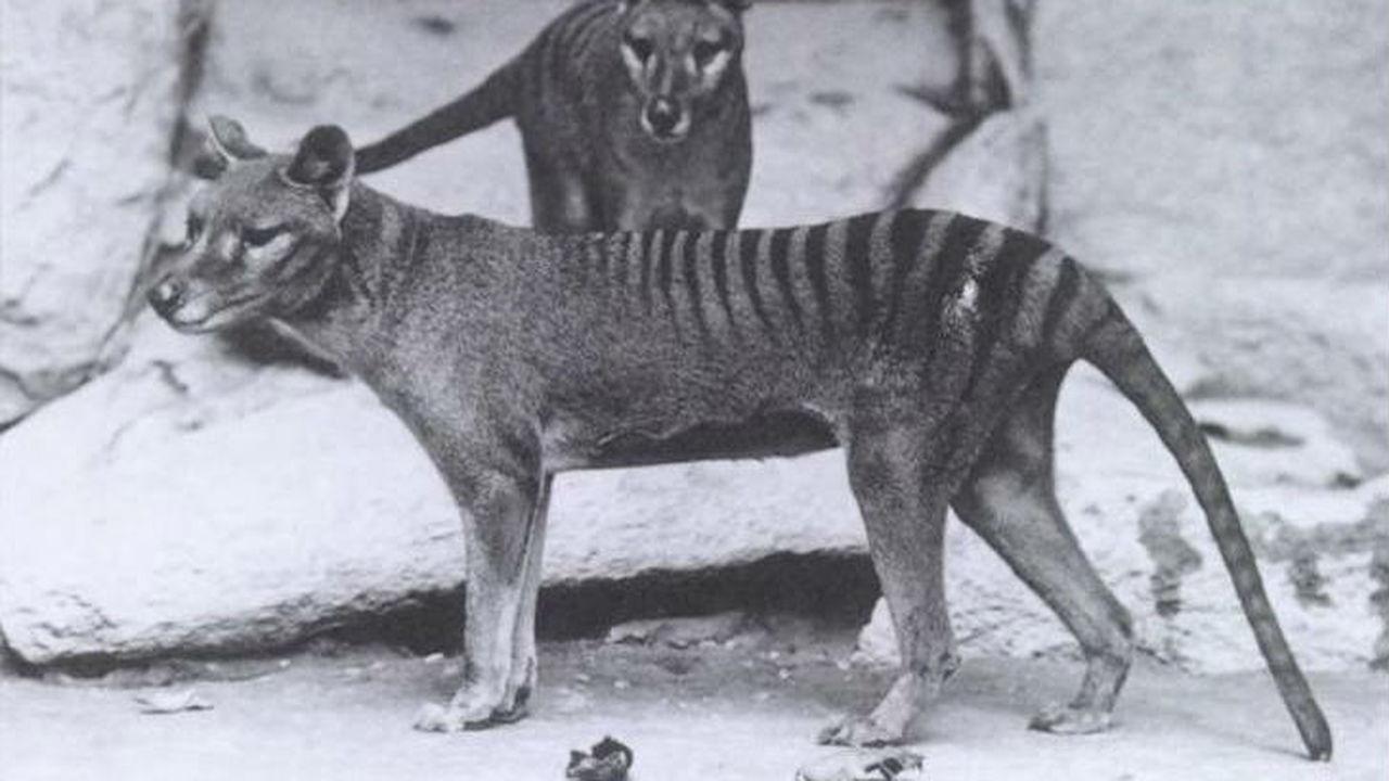 Долгожданный геном сумчатого волка рассказал о подробностях вымирания загадочного хищника