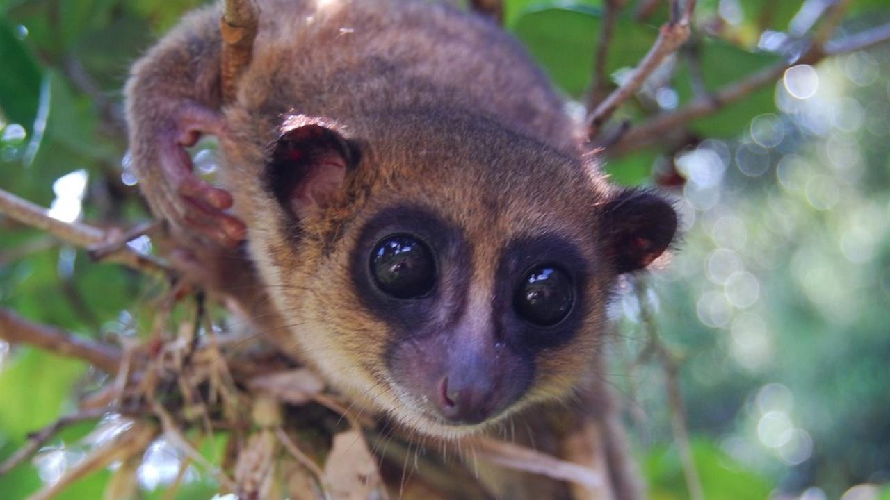 Новый вид лемуров назвали в честь известного приматолога