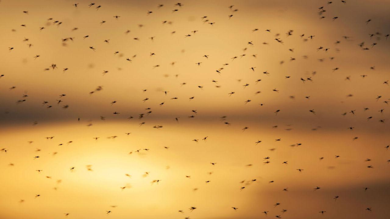 Слюна комара действует на иммунитет в течение нескольких дней после укуса