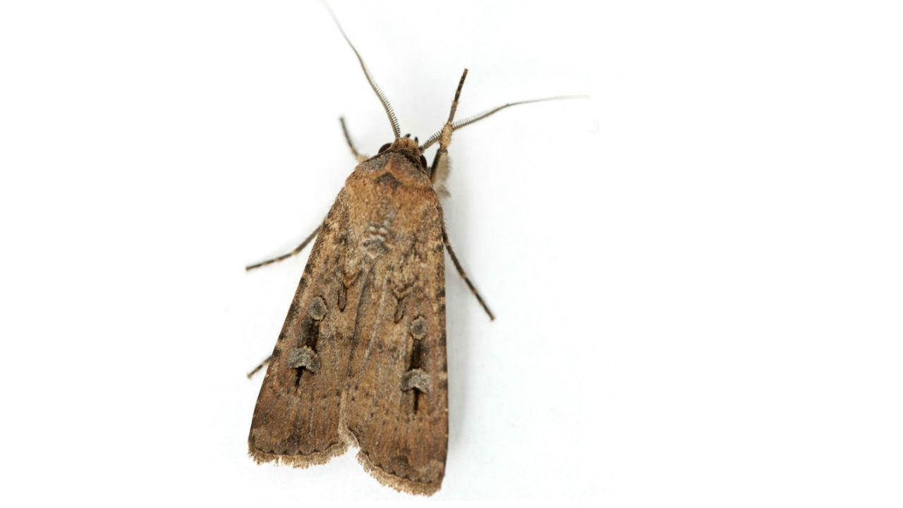 Доказано: ночные бабочки в тысячекилометровых перелётах ориентируются по магнитному полю Земли