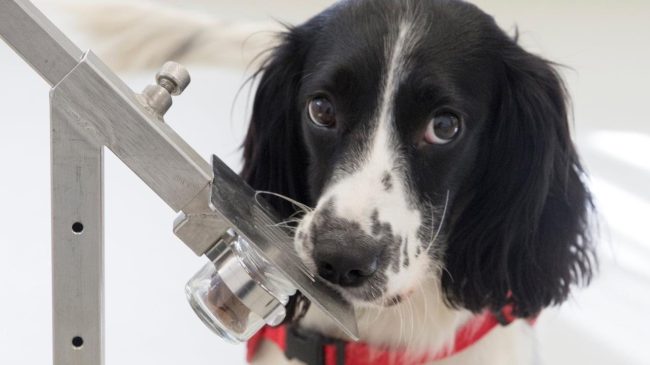 Нюх на болезнь: собак обучили диагностировать малярию по запаху носков