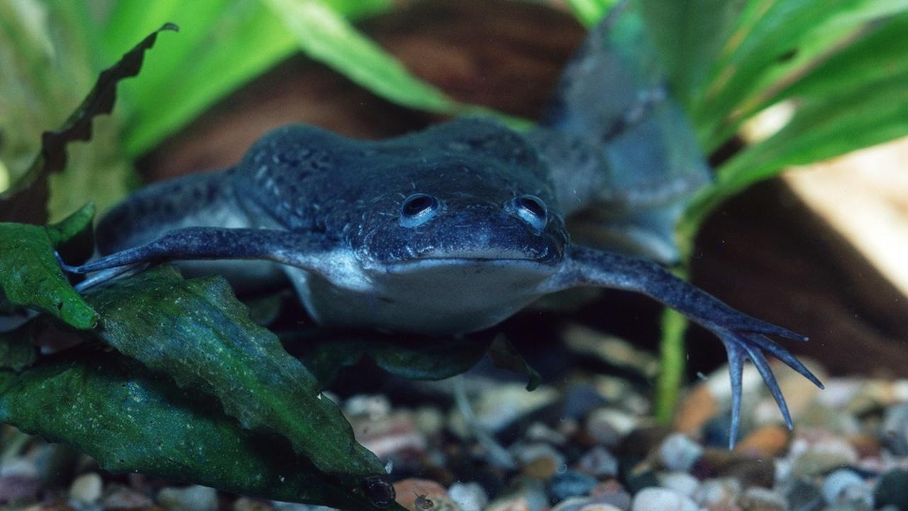 Переносной биореактор с гормоном помог лягушкам отрастить лапки после ампутации