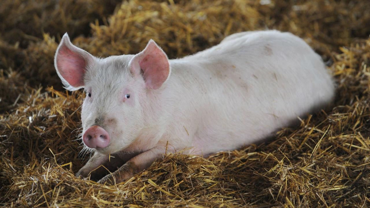 Созданы ГМ-свиньи, устойчивые к смертельному вирусу