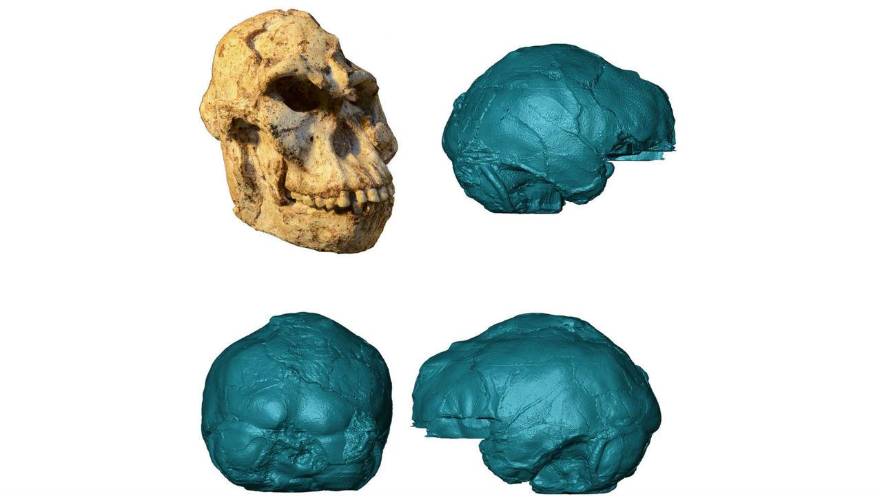 """Эксперты впервые реконструировали мозг знаменитого австралопитека """"Маленькая Нога"""""""