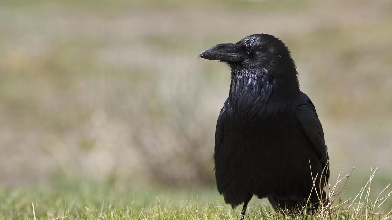 Вороны могут на глаз определить вес предмета
