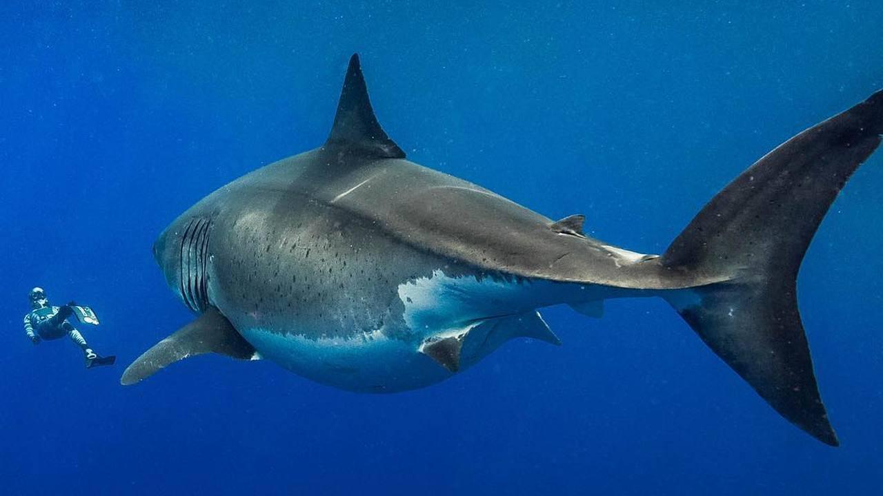 На плёнку попала одна из самых больших белых акул в истории наблюдений