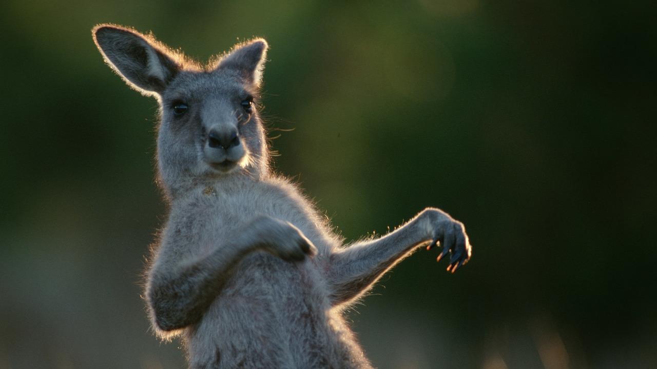 Учёные выяснили, когда кенгуру начали прыгать