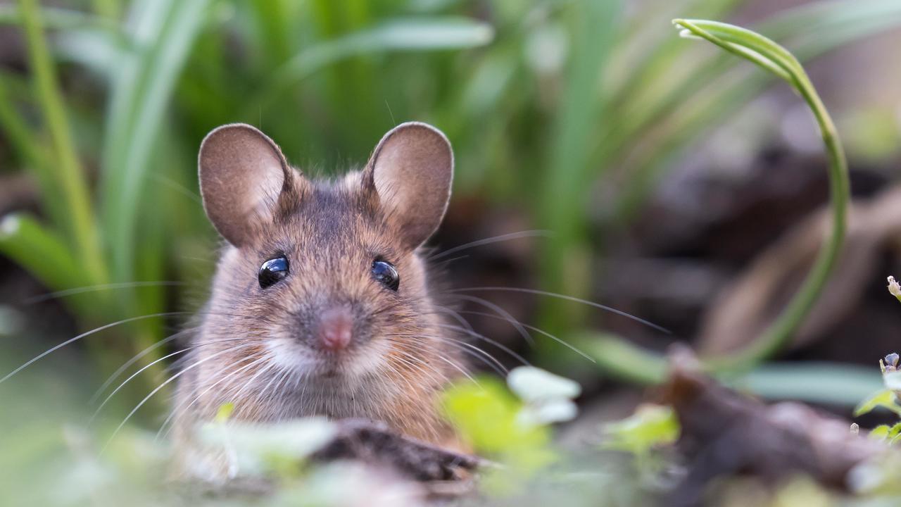 Наночастицы подарили мышам инфракрасное зрение, следующими могут быть люди