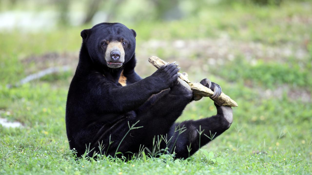 """Самые маленькие медведи оказались """"пародистами"""""""