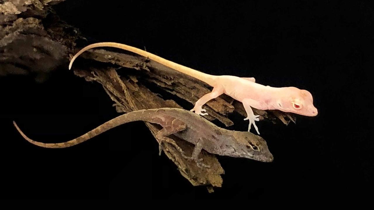 Созданы первые в мире генетически модифицированные рептилии
