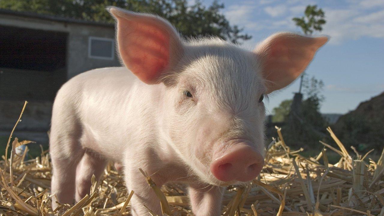 Учёные восстановили функции мозга свиньи спустя несколько часов после смерти