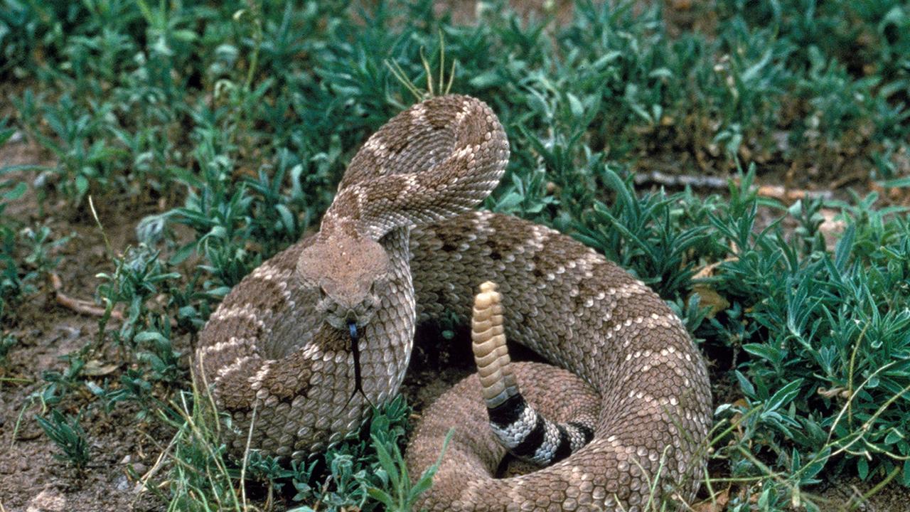 Археологи: охотник съел ядовитую змею сырой с чешуёй, зубами и костями