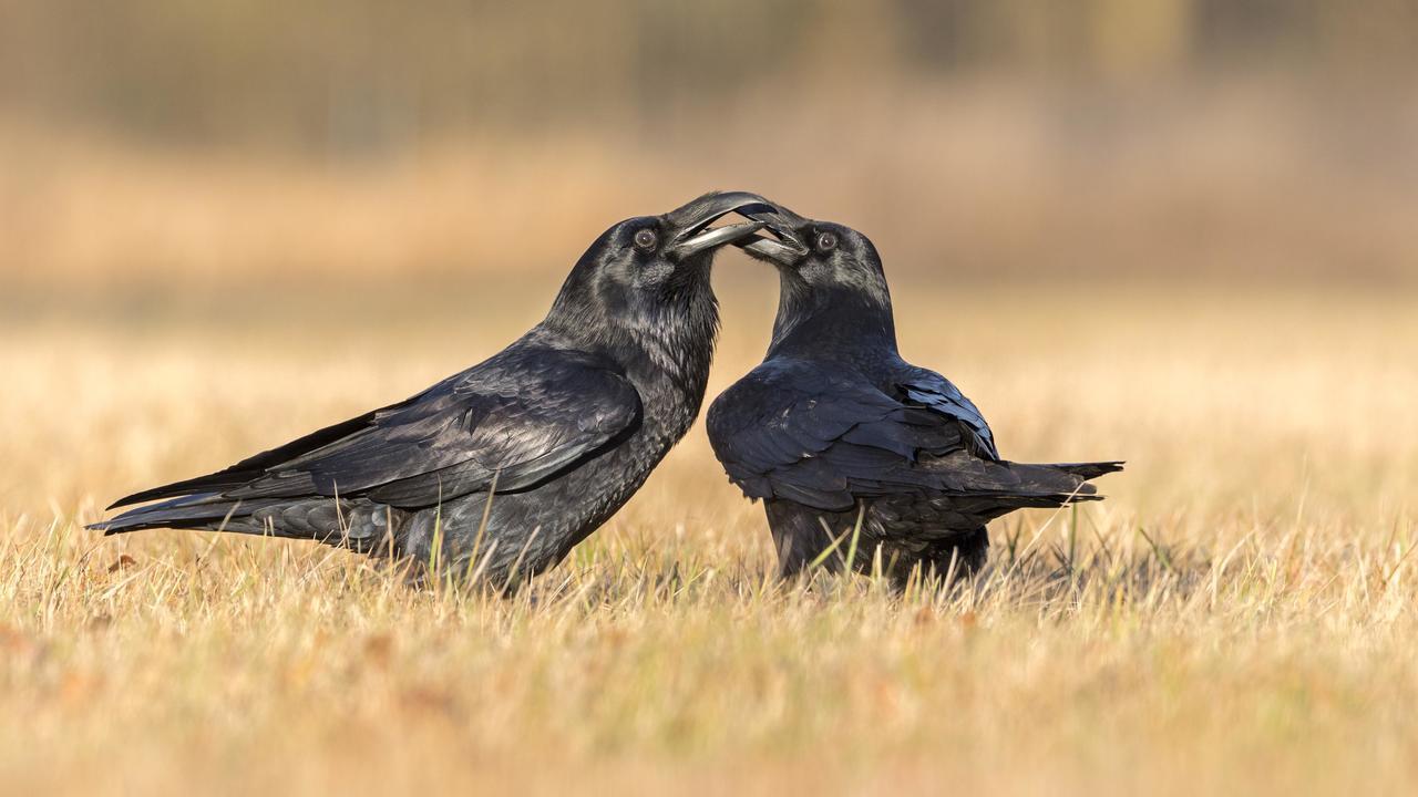 Вороны заражают сородичей плохим настроением, если не получают желаемого